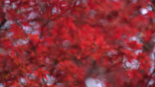 beautiful maple leaves - autumn leaf color stock videos and b-roll footage