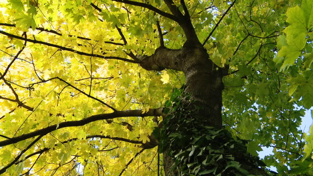 hd dolly: beautiful maple tree - maple tree stock videos and b-roll footage