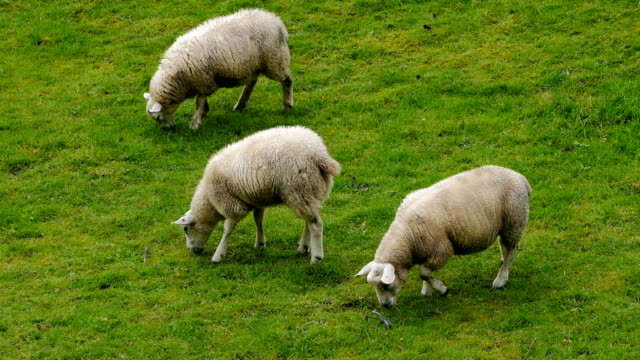 beautiful meadows with sheeps in scottish highlands - sheep stock videos & royalty-free footage