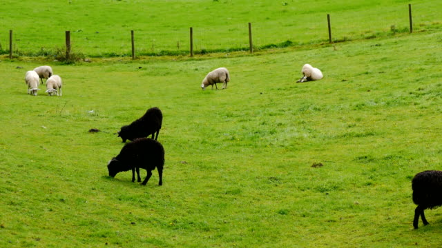Beautiful meadows with sheeps in Scottish Highlands