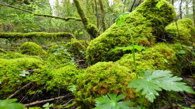 beautiful moss in forest - moss stock videos & royalty-free footage