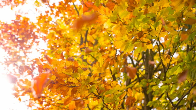 beautiful multi colored autumn tree - autumn leaf color stock videos and b-roll footage