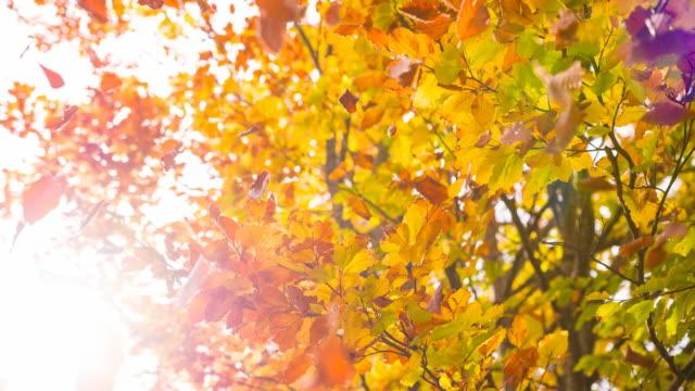 beautiful multi colored autumn tree - treetop stock videos & royalty-free footage