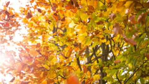 stockvideo's en b-roll-footage met prachtige multi gekleurde herfst boom - autumn