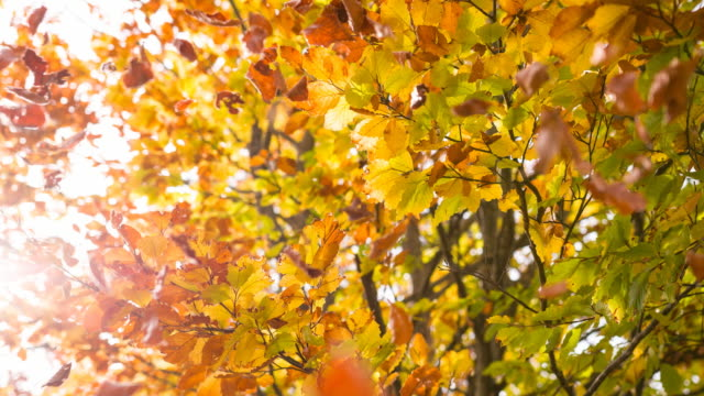 beautiful multi colored autumn tree - foglia video stock e b–roll