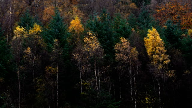 beautiful nature of yellow and green leaf tree in scotland - maple tree stock videos & royalty-free footage