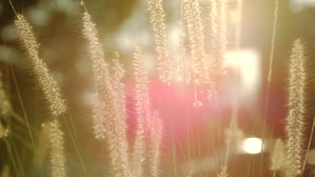 Campo bonito da cena da natureza de encontro à luz solar com flores da grama durante o por do sol, fundo borrado Sumário.