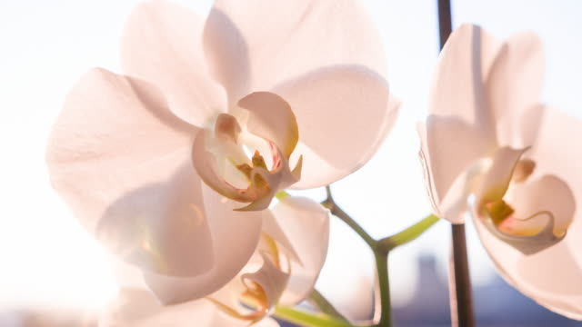vídeos de stock e filmes b-roll de beautiful orchid blossoms at sunset - estame