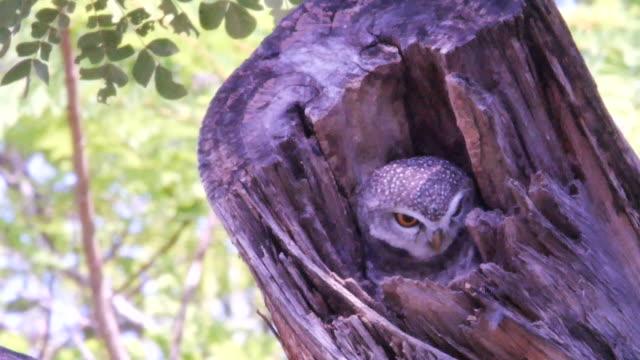 木の上に隠された美しいフクロウ