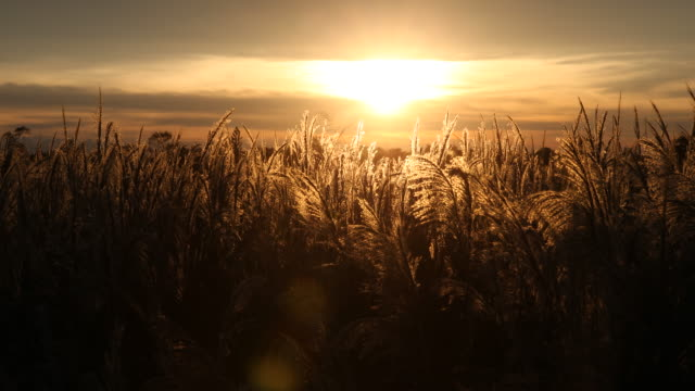 beautiful panning in the evening sun of bolivia through a cereal field near santa cruz de la sierra. - mammal stock videos & royalty-free footage