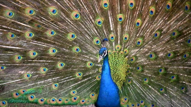 beautiful peacock. hd. - peacock stock videos and b-roll footage