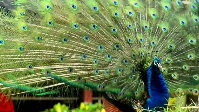 beautiful peacock - peacock stock videos and b-roll footage