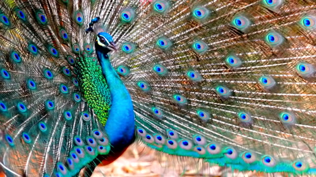 beautiful peacock. - peacock stock videos and b-roll footage