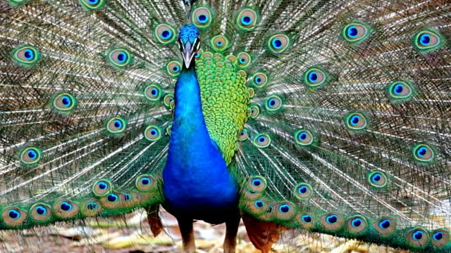beautiful peacock. - spread wings stock videos & royalty-free footage