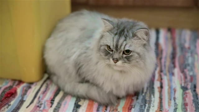 Beautiful Persian cat resting at home