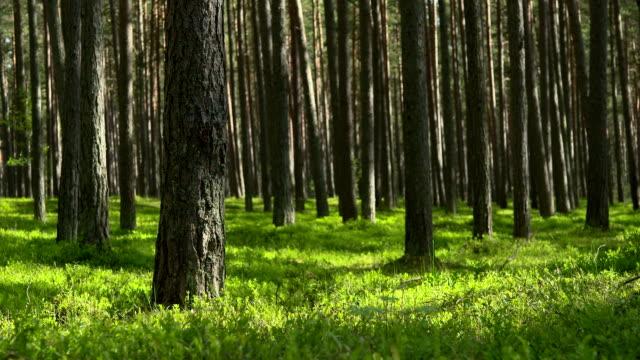 Wunderschöne pine forest