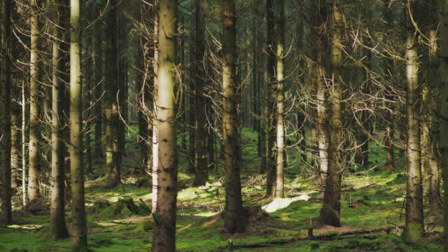 晴れた秋の日にスウェーデンの美しい松の木の森 - dolly shot点の映像素材/bロール