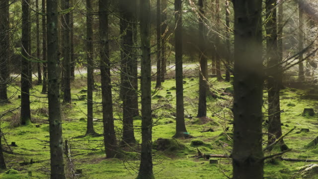 vídeos de stock e filmes b-roll de a beautiful pine tree forest in sweden on a sunny autumn day - pinheiro