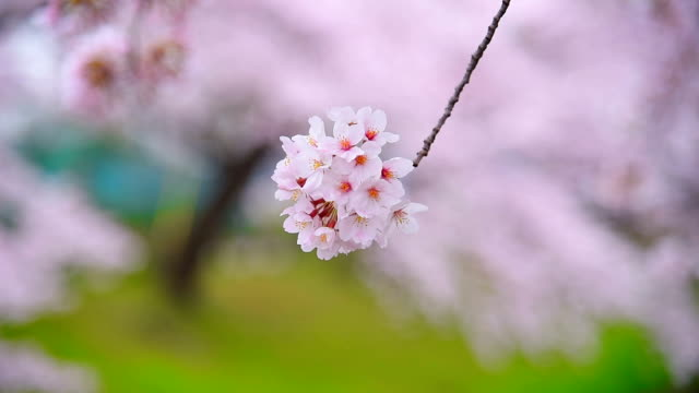 美しいピンクの桜さくら - 桜の花点の映像素材/bロール