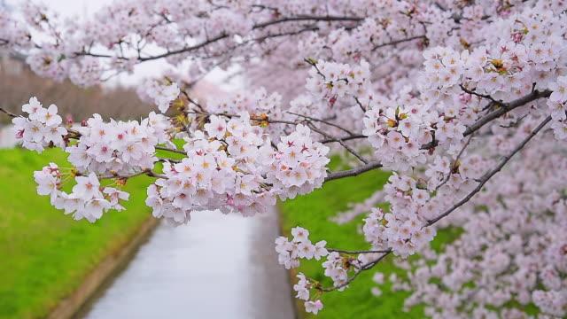 美しいピンクの桜さくら - 苗点の映像素材/bロール