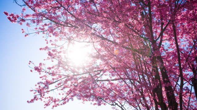 beautiful pink cherry tree in bloom in springtime illuminated by sunlight - great white cherry stock videos & royalty-free footage