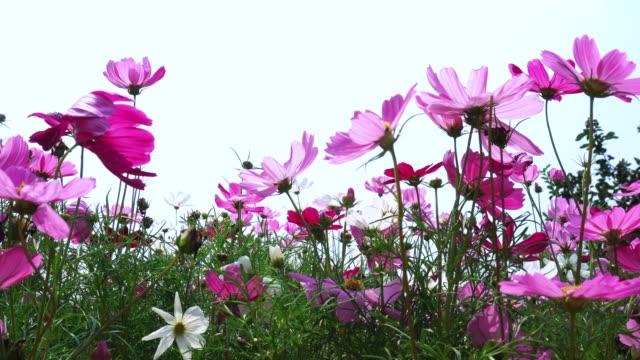 vidéos et rushes de fleurs de cosmos rose magnifique dans le jardin - violet