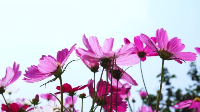 schöne rosa cosmos blumen mit blauer himmelshintergrund - wildpflanze stock-videos und b-roll-filmmaterial