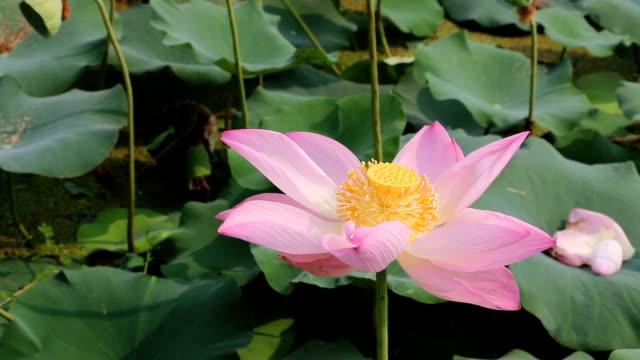 stockvideo's en b-roll-footage met mooie roze lotusbloem - in kleermakerszit