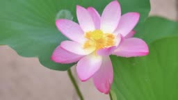 Beautiful pink lotus sway in raining day, close up and high angle view, super slow motion footage.