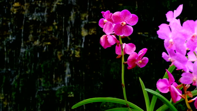 beautiful pink orchid flower with waterfall - orchid stock videos & royalty-free footage