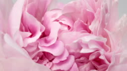 Beautiful pink peony background. Blooming peony flower outdoor, time lapse, closeup. Macro