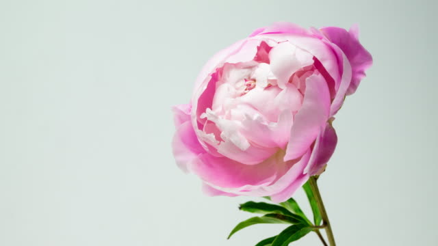 beautiful pink peony isolated. - blossom stock videos & royalty-free footage