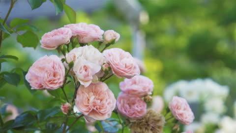beautiful pink rose in flower garden. - rose stock videos & royalty-free footage