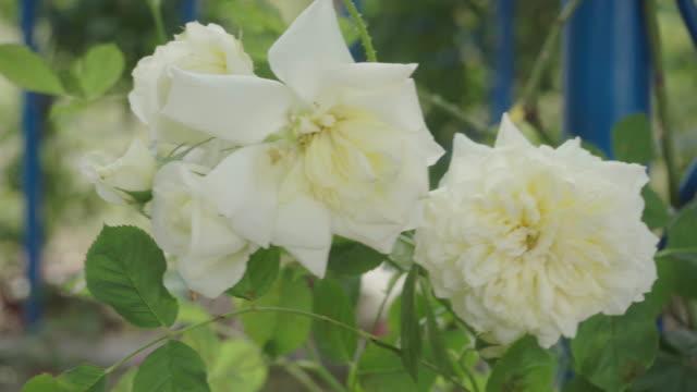 beautiful pink rose in the garden - pianta selvatica video stock e b–roll