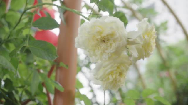vidéos et rushes de belle rose rose dans le jardin - plante sauvage
