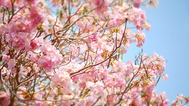 beautiful pink trumpet tree in the parks. - heaven stock videos & royalty-free footage