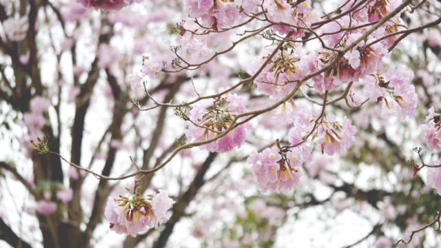 beautiful pink trumpet tree in the parks. - wind instrument stock videos & royalty-free footage