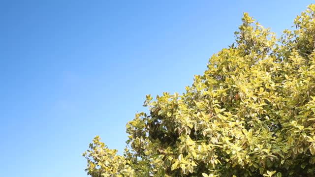 Wunderschöne Plumeria Baum mit blauer Himmel