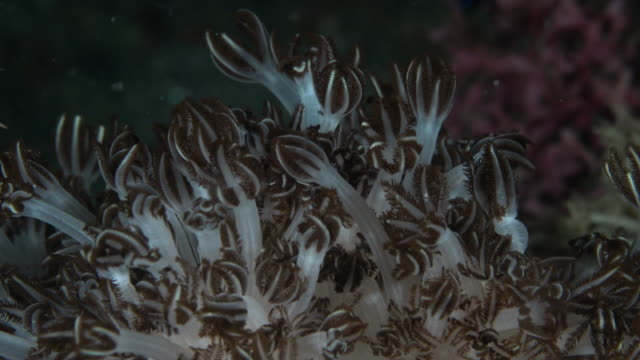 beautiful polyps of soft coral xenia actuosa - soft coral stock videos & royalty-free footage