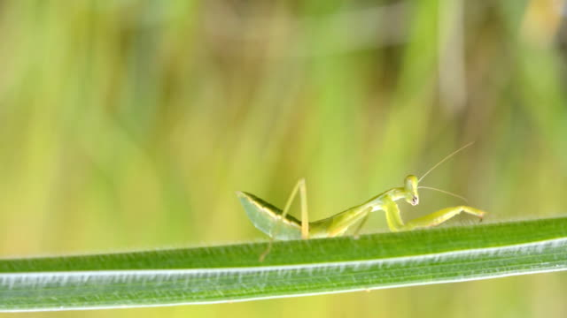 beautiful praying mantis in forest - animal antenna stock videos & royalty-free footage