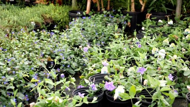 beautiful purple blooms in garden center - centro per il giardinaggio video stock e b–roll