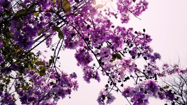 beautiful purple flowers on the tree - pretoria stock videos & royalty-free footage