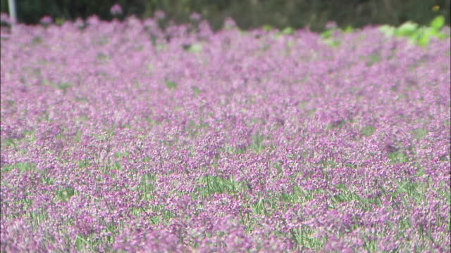 beautiful purple rakkyo flowers bloom in a meadow. - tokushima prefecture stock videos & royalty-free footage