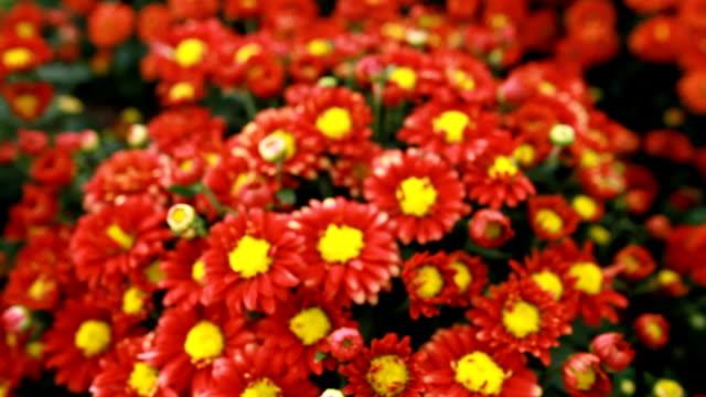 beautiful red and yellow chrysanthemum flower blooming in garden. - chrysanthemum stock videos & royalty-free footage