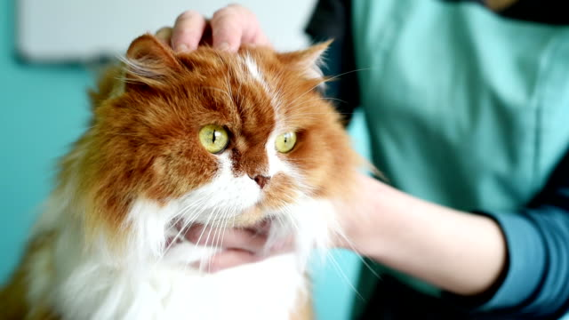 beautiful red cat in a veterinary clinic - veterinarian stock videos & royalty-free footage