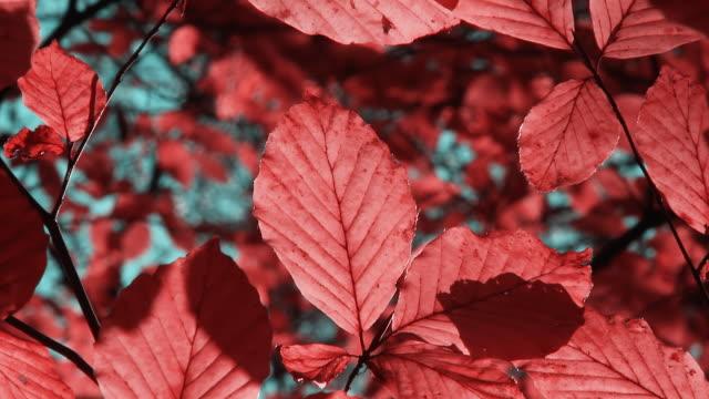 HD: Beautiful Red Fall Foliage
