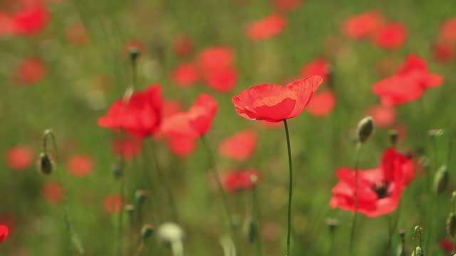 HD :美しいレッド Poppies