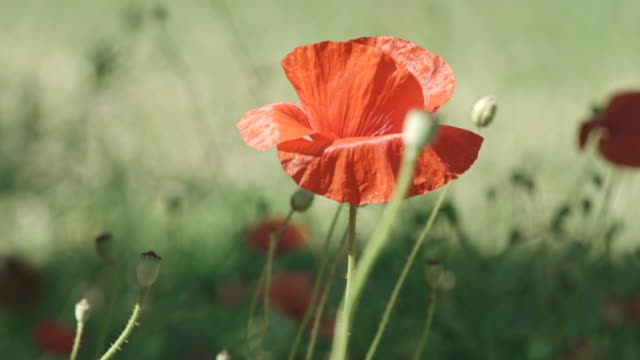 4K: Beautiful Red Poppies