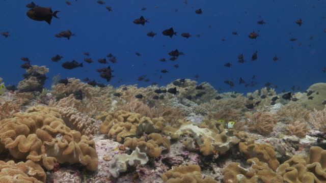 beautiful reef with soft coral and triggerfish - soft coral stock videos & royalty-free footage