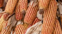 Beautiful Ripe yellow corn on dry husk Rural farm natural organic concept.